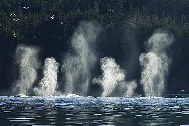 Humpback Whales (Megaptera Novaeangliae) Feed Along The Shoreline Of Shelter Island, Inside Passage, Near Juneau, Alaska, United States Of America