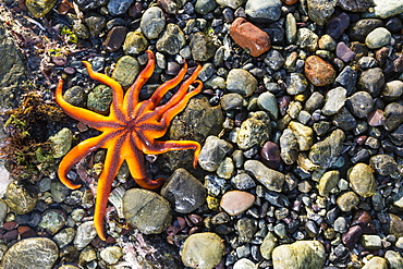 Detail View Of A Sea Star In A Tidal Pool, Hesketh Island, Homer, Southcentral Alaska, USA