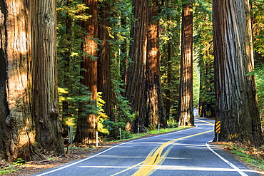 Highway 101 Across Richardson Grove State Park, California, United States Of America