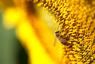 Bee On Sunflower, Caldeon, Ontario, Canada