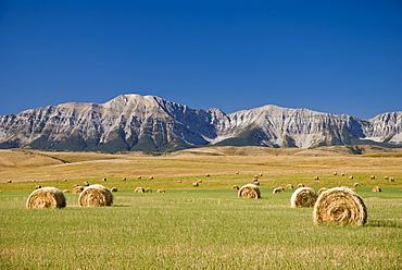 Field Of Hay Bales, Alberta, Canada
