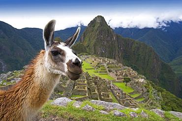 Llama (Lama Glama), Machu Picchu, Peru