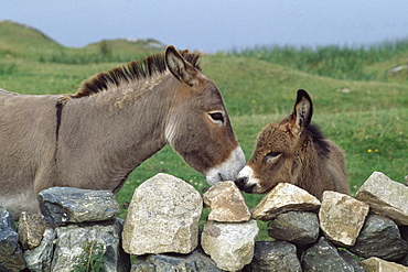 Donkeys By Stone Fence; Ballyconneely, County Galway, Ireland