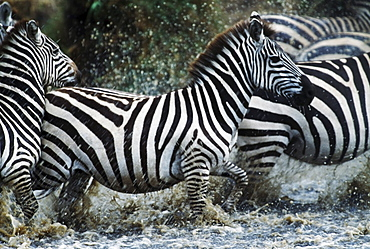 Zebras Splashing In River, Serengeti National Park, Tanzania, Africa