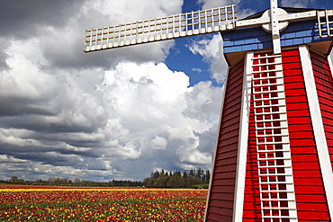 Woodburn, Oregon, United States Of America; Windmill And Field Of Tulips At Wooden Shoe Tulip Farm