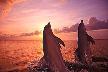 Roatan, Bay Islands, Honduras; Two Bottlenose Dolphins (Tursiops Truncatus) Jumping Out Of The Water At Anthony's Key Resort At Sunset
