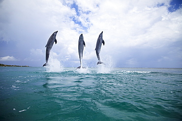 Roatan, Bay Islands, Honduras; Three Bottlenose Dolphins (Tursiops Truncatus) Jumping Out Of The Water At Anthony's Key Resort