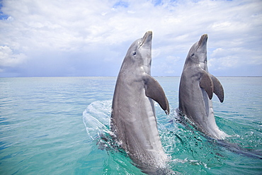 Roatan, Bay Islands, Honduras; Two Bottlenose Dolphins (Tursiops Truncatus) Jumping Out Of The Water At Anthony's Key Resort