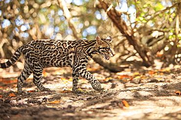 Roatan, Bay Islands, Honduras; Endangered Species Jaguar (Panthera Onca) In The Rehab Center & Forest Preserve On Mango Key Across From Coxen Hole