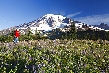 Washington, United States Of America; A Man Hiking Through The Wildflowers With Mount Rainier In The Background In Mt. Rainier National Park