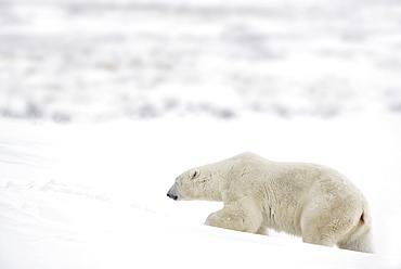 A Polar Bear (Ursus Maritimus) Journeys Through Heavy Snow To Search For Food; Churchill, Manitoba, Canada