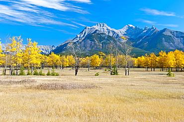 Aspens In A Meadow In Banff National Park; Banff, Alberta, Canada