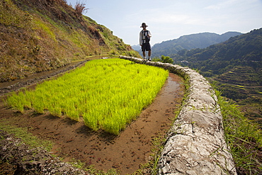 A Tourist Walks Along The Famous Mud-Walled Rice Terraces In The Cordillera Region Near Banaue; North Luzon, Philippines