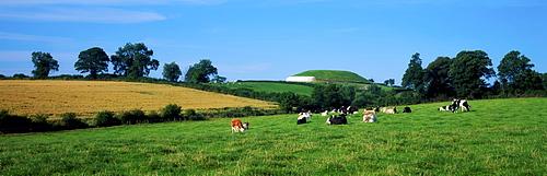 Newgrange, County Meath, Ireland, Holstein-Friesian Cattle