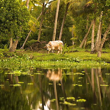 Animal Reflection, Kerala, India