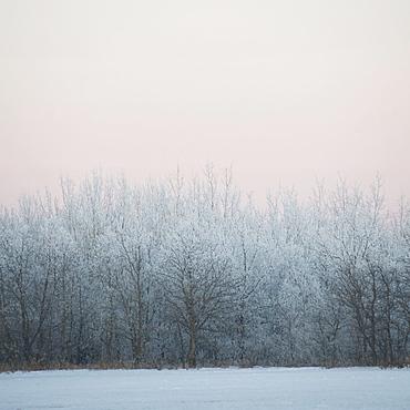 Winnipeg, Manitoba, Canada, Snow Covered Trees In Winter