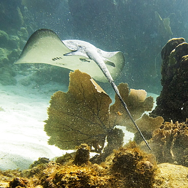 Caribbean Whiptail Stingray (Himantura Schmardae), Utila, Bay Islands, Honduras
