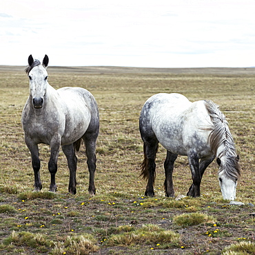 Horses Grazing On Grass And Wildflowers In A Field, Santa Cruz Province, Argentina