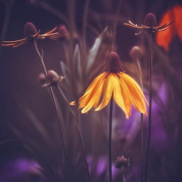 A Golden Bloom At Twilight, Prague, Czech Republic - 1116-43552