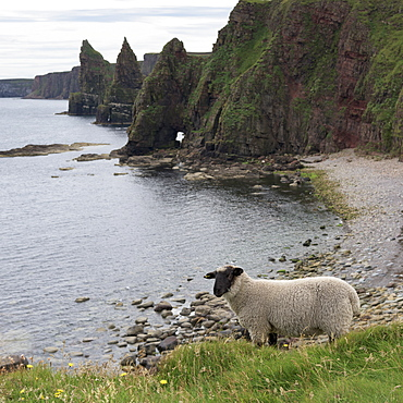 A Sheep Stands At The Water's Edge With Sea Stacks And Cliffs Along The Coastline, Duncansby Head, John O' Groats, Scotland