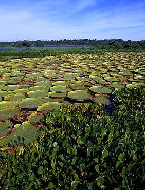 Water Lilies; Brazil