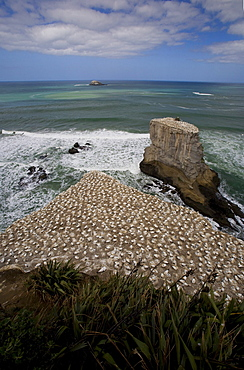 A Gannet Colony, Muriwai Beach, New Zealand