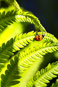 Close-Up Of Fern Leaves Backlit With A Ladybug (Coccinella Magnifica); Calgary, Alberta, Canada
