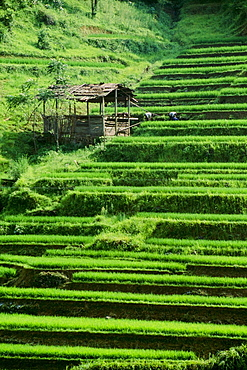 Rice Fields, Longsheng, Guangxi Province, China