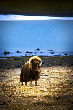 Muskox (Ovibos Moschatus)In The Northwest Territories