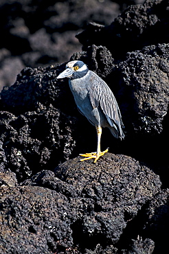 Yellow-Crowned Night Heron On Rock