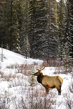 Elk In Winter Forest, Banff National Park, Alberta, Canada