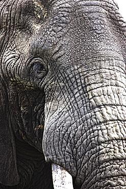 Portrait Of African Bull Elephant