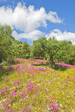 Olive Trees And Spring Flowers, Andalucia, Spain