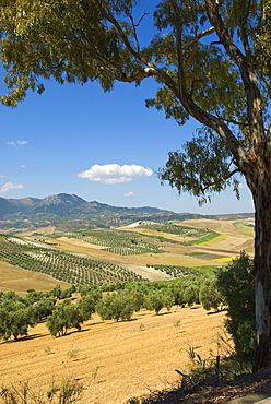 Olive Tree Grove, Andalusia, Spain