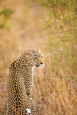 Leopard (Panthera Pardus), Arathusa Safari Lodge, Sabi Sand Reserve, Mpumalanga, South Africa