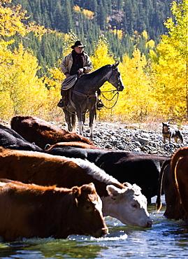 Cowboy Herding Cattle Across River, Alberta, Canada