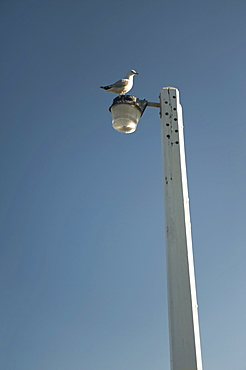 Seagull Perched On Lamppost