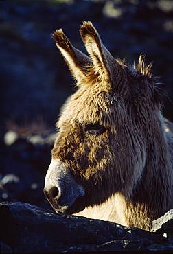 Donkey On Inishmaan, The Aran Islands, County Galway, Ireland
