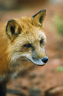 Red Fox (Vulpes Vulpes), Utah, Usa