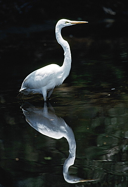 Great Egret (Casmerodius Albus) Reflected In Pond