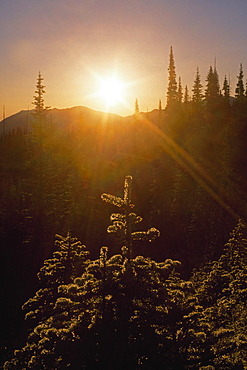 Sunburst Over Fir Trees, Olympic National Park, Washington, United States of America