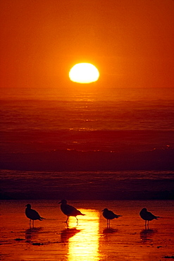Seagulls, Shishi Beach, Washington, Usa