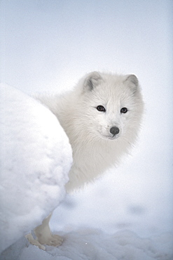 Arctic Fox Exploring Fresh Snow, Alaska, Usa