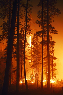 Prescribed Fire In Ponderoase Pine Forest (Pinus Ponderosa), Jemez Mountains, New Mexico, Usa
