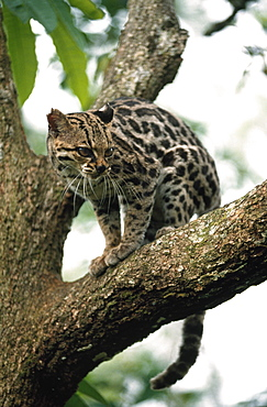 Margay (Leopardus Wiedii) In A Tree