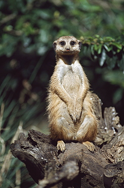 Meerkat Sitting On A Stump, Africa