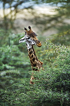 Giraffe Feeding On Acacia Tree, Africa