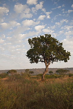 Tree On An African Landscape