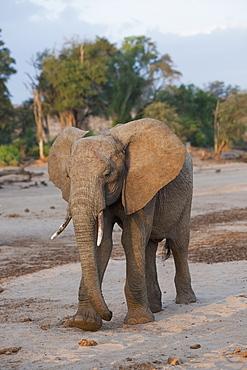Elephant, Kenya, Africa