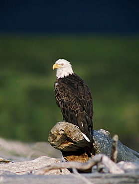 Bald Eagle (Haliaeetus Leucocephalus) Perched On Driftwood, Alaska, Usa